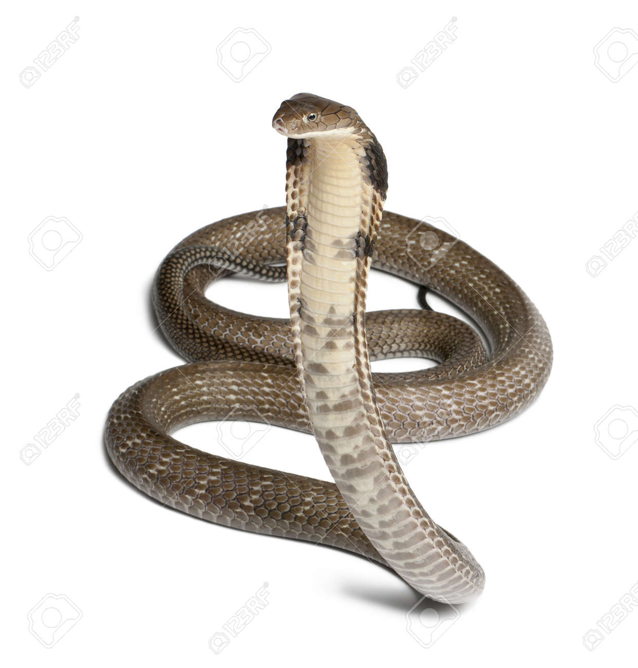 king cobra - Ophiophagus hannah, poisonous, white background - 13582558