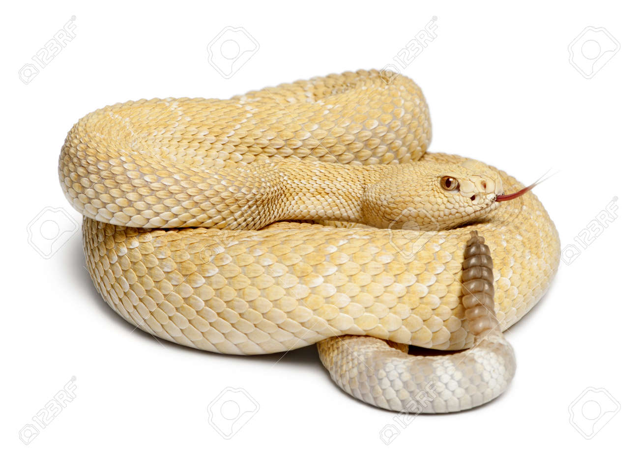 albinos western diamondback rattlesnake - Crotalus atrox, poisonous, white background Stock Photo - 13591916