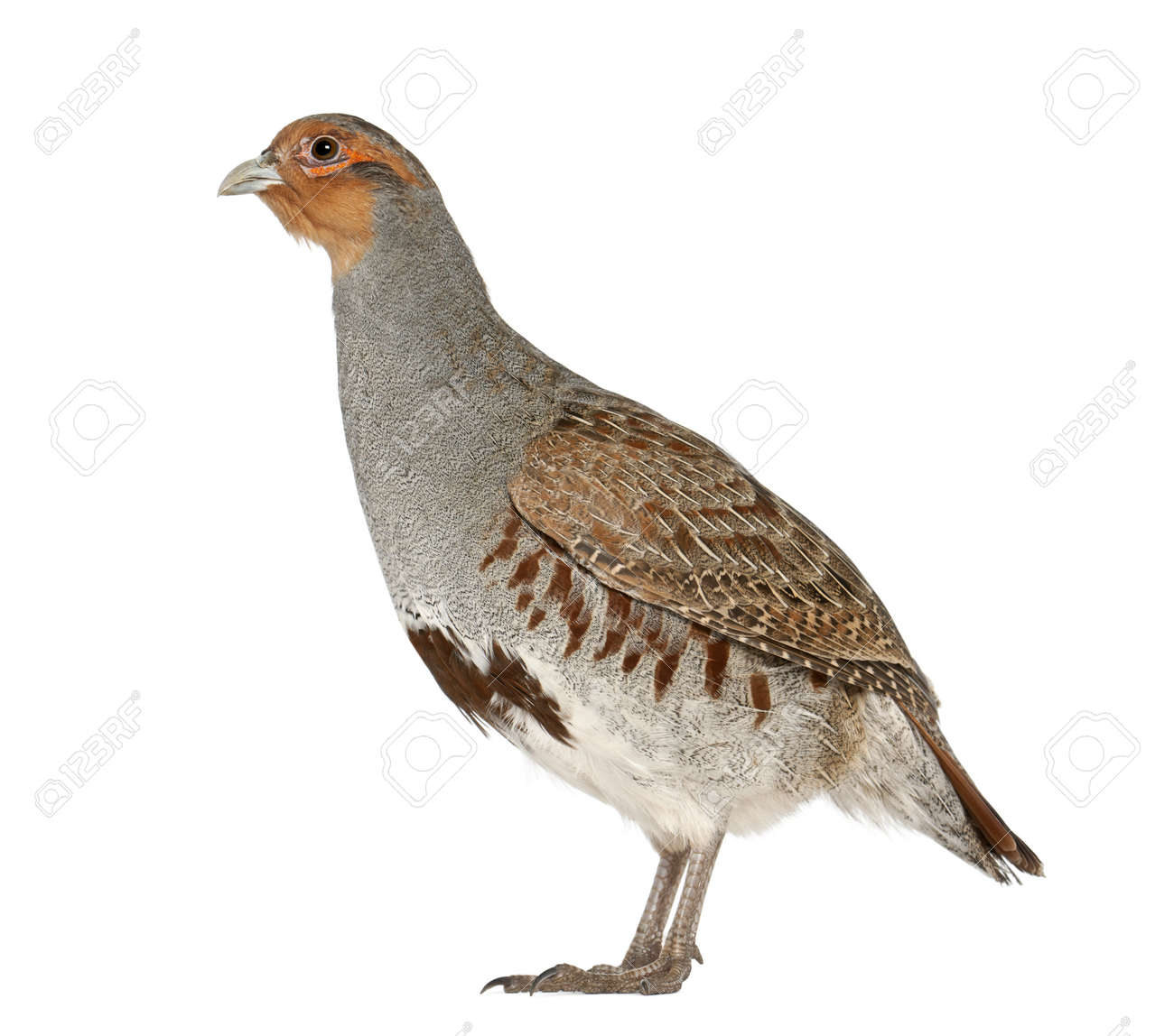 Grey Partridge, Perdix perdix, also known as the English Partridge, Hungarian Partridge, or Hun, a game bird in the pheasant family, standing in front of white background Stock Photo - 13583948