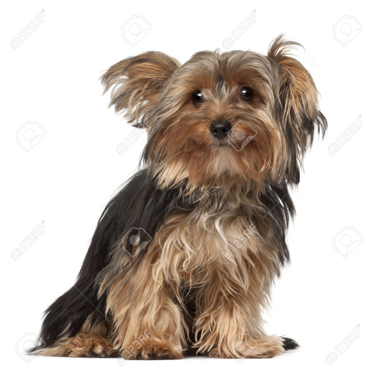 Yorkshire Terrier 8 Months Old Sitting In Front Of White