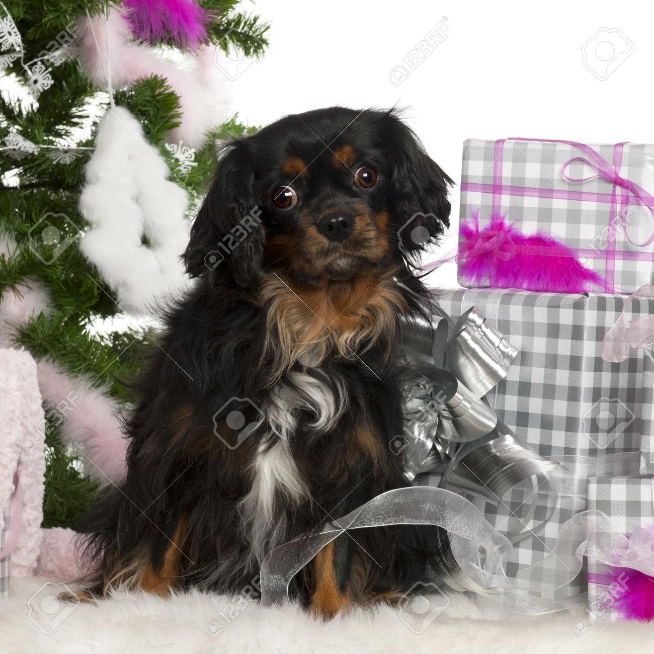 Regalo Cavalier King Charles Spaniel.Cavalier King Charles Spaniel 3 Anos De Edad Con El Arbol De Navidad Y Los Regalos Delante De Fondo Blanco