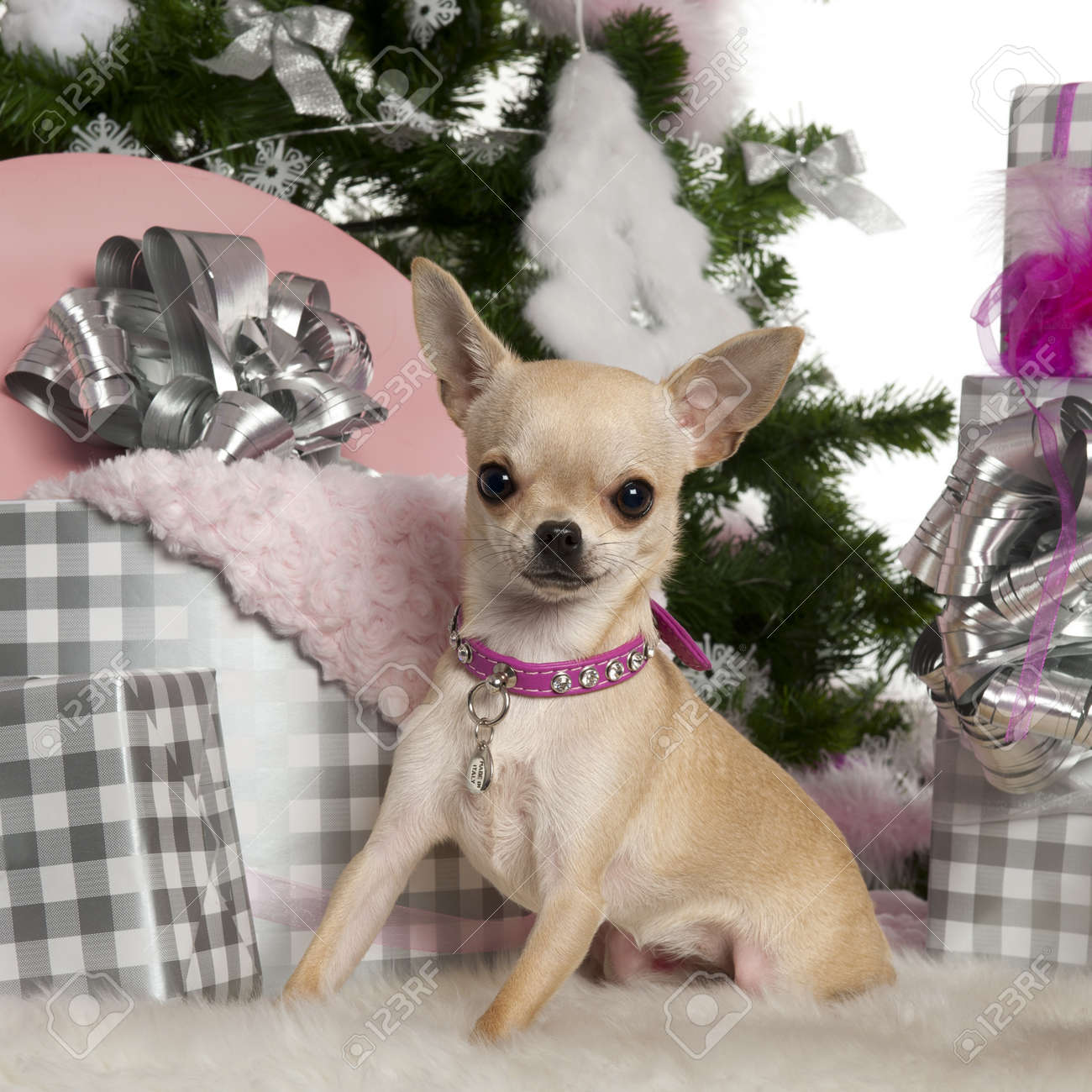 Chihuahua, 8 months old, with Christmas tree and gifts in front of white background Stock Photo - 13592088