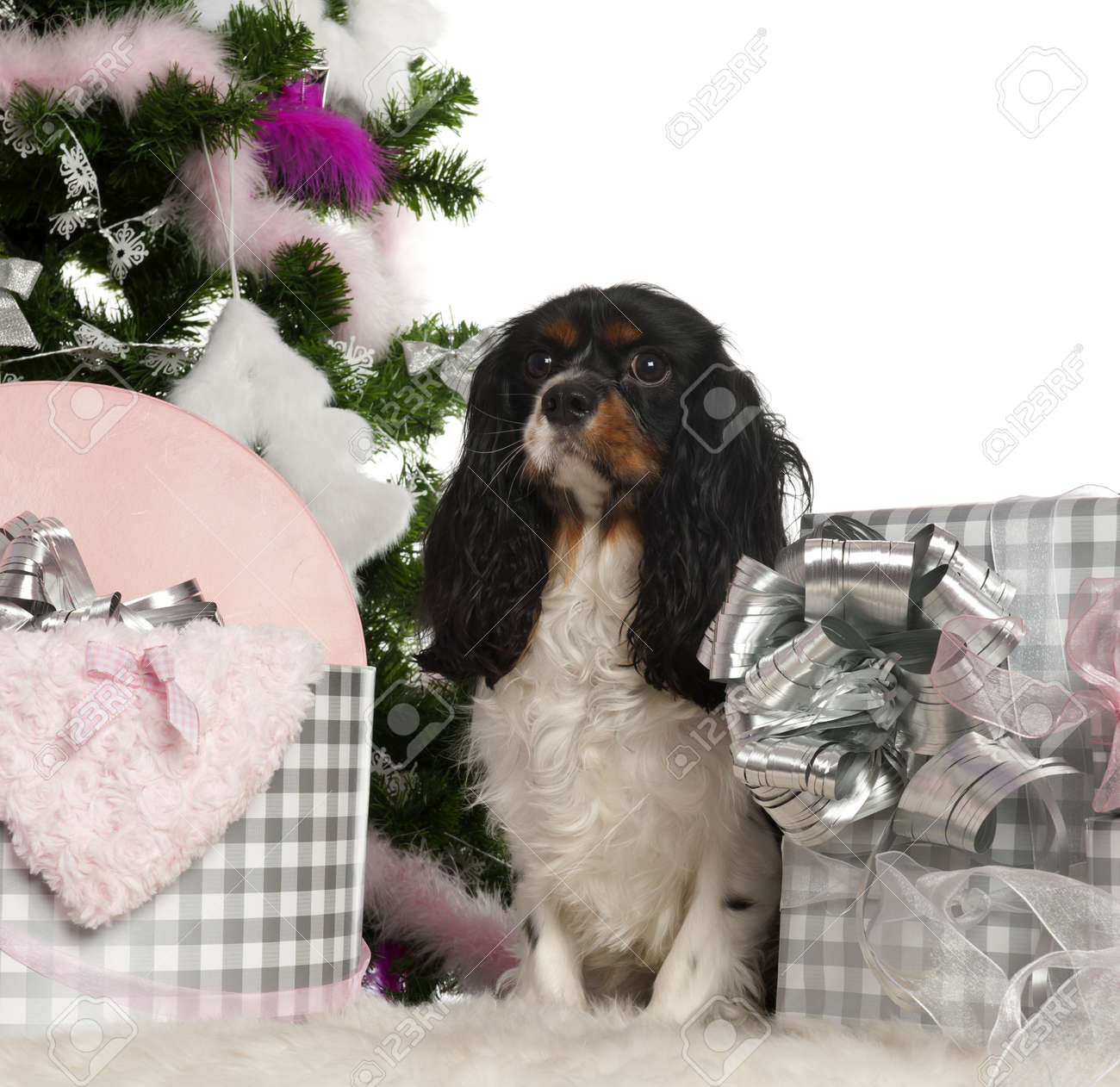 Cavalier King Charles Spaniel, 18 months old, with Christmas tree and gifts in front