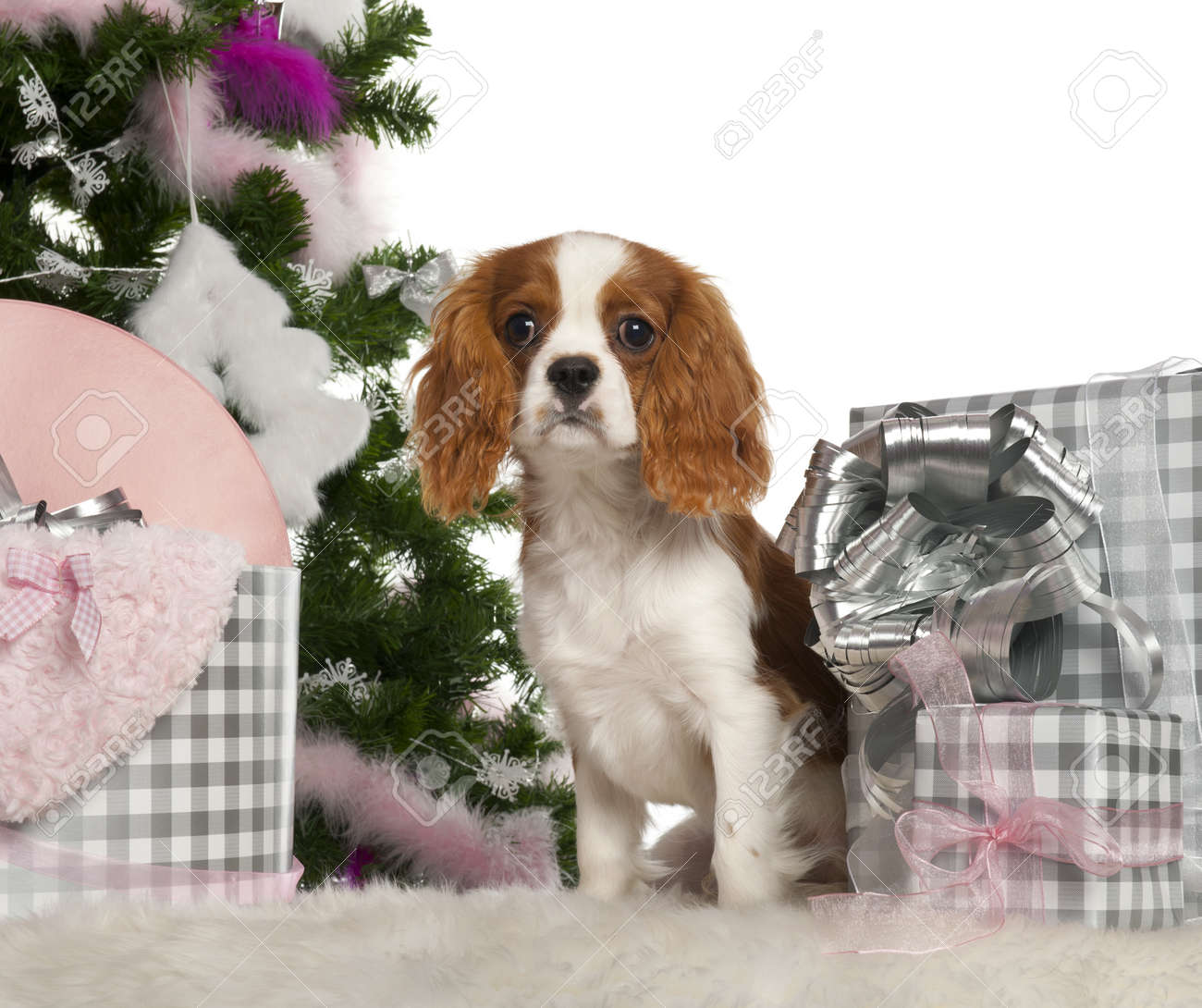 Cavalier King Charles Spaniel puppy, 6 months old, with Christmas tree and gifts in