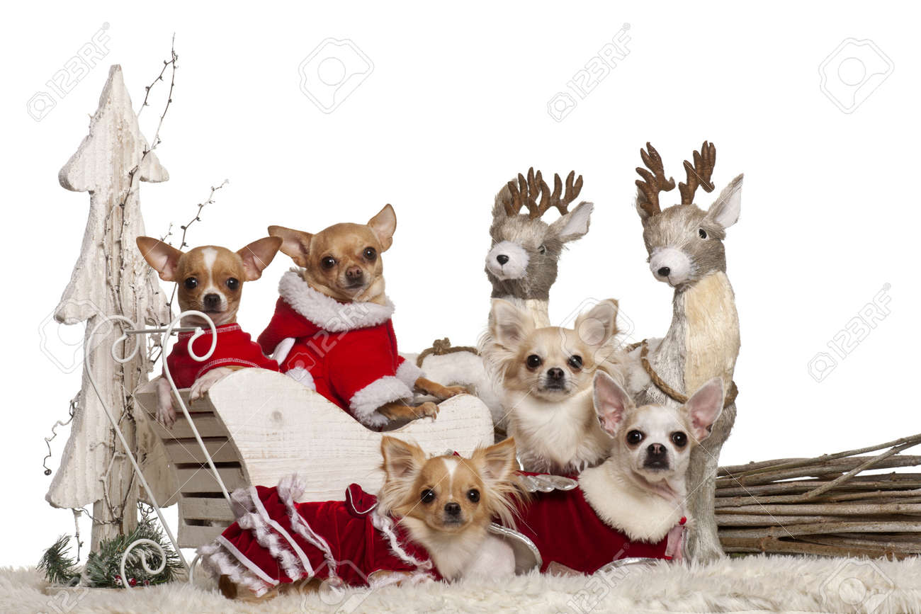 Chihuahuas In Christmas Sleigh In Front Of White Background Stock ...
