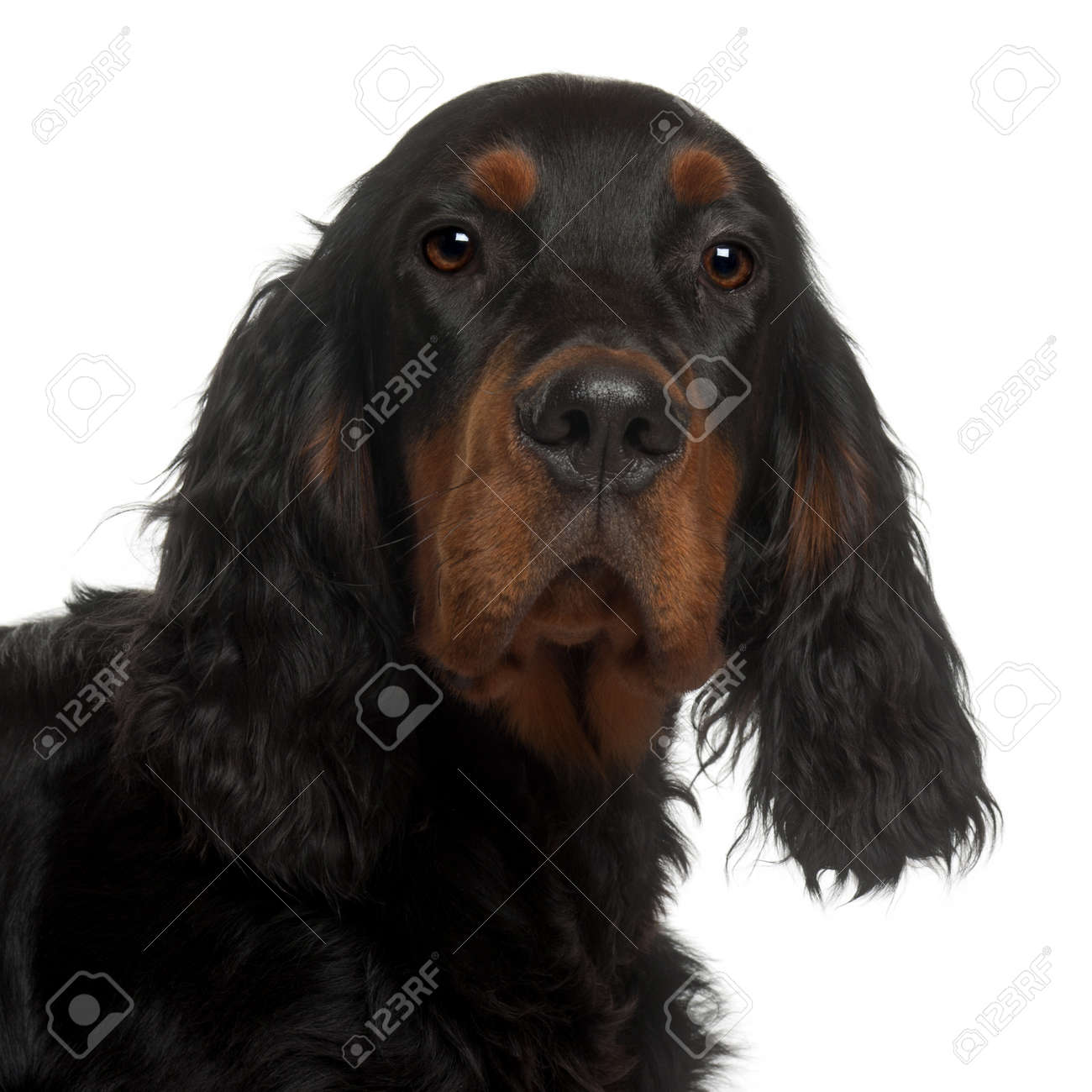 Gordon Setter puppy, 6 months old, in front of white background Stock Photo - 13584514
