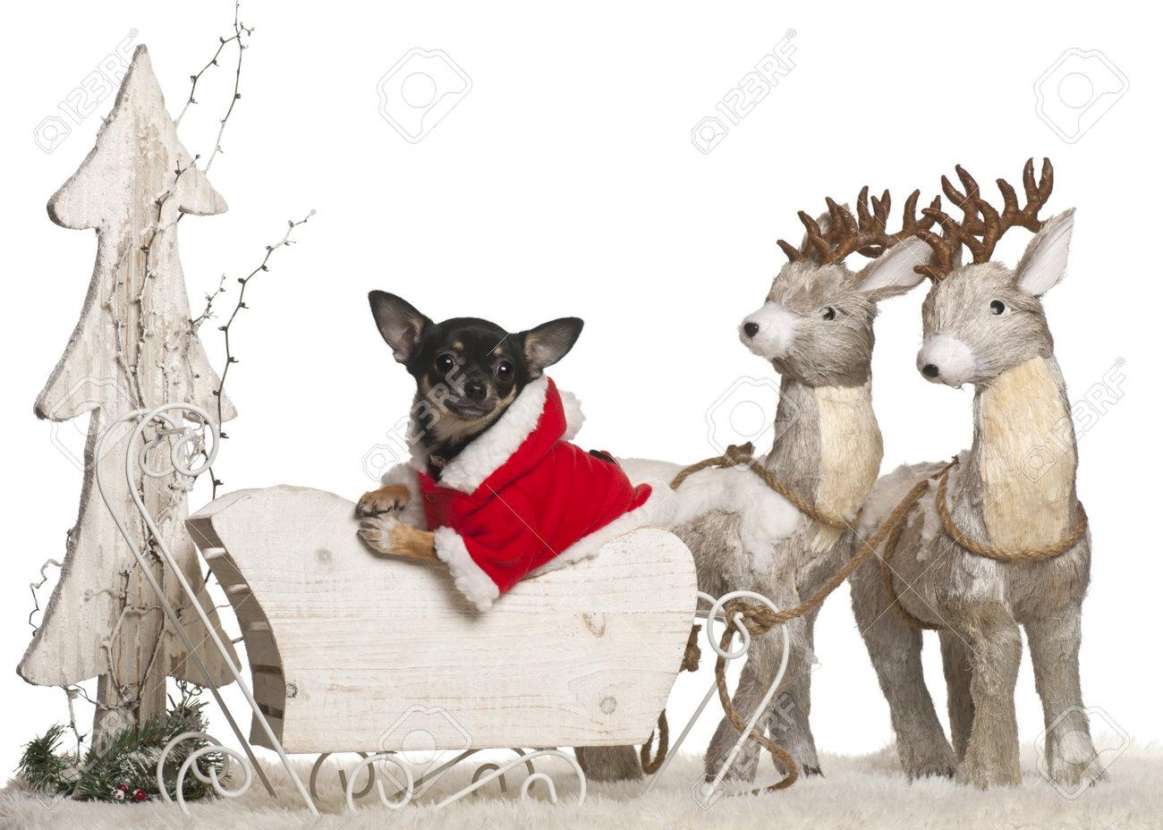 Chihuahua Welpen, 5 Monate Alt, In Weihnachtsschlitten Vor Weißem ...