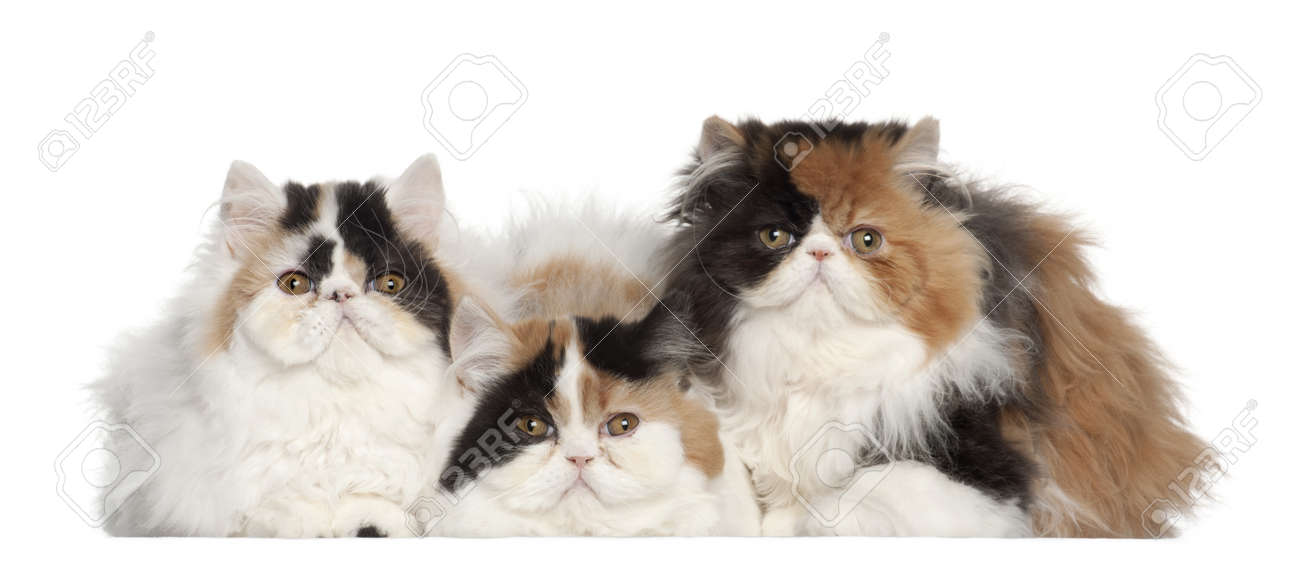 Persian cat 5 months