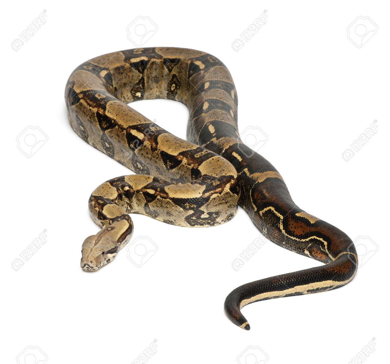 boa constrictor stock photos royalty free boa constrictor images