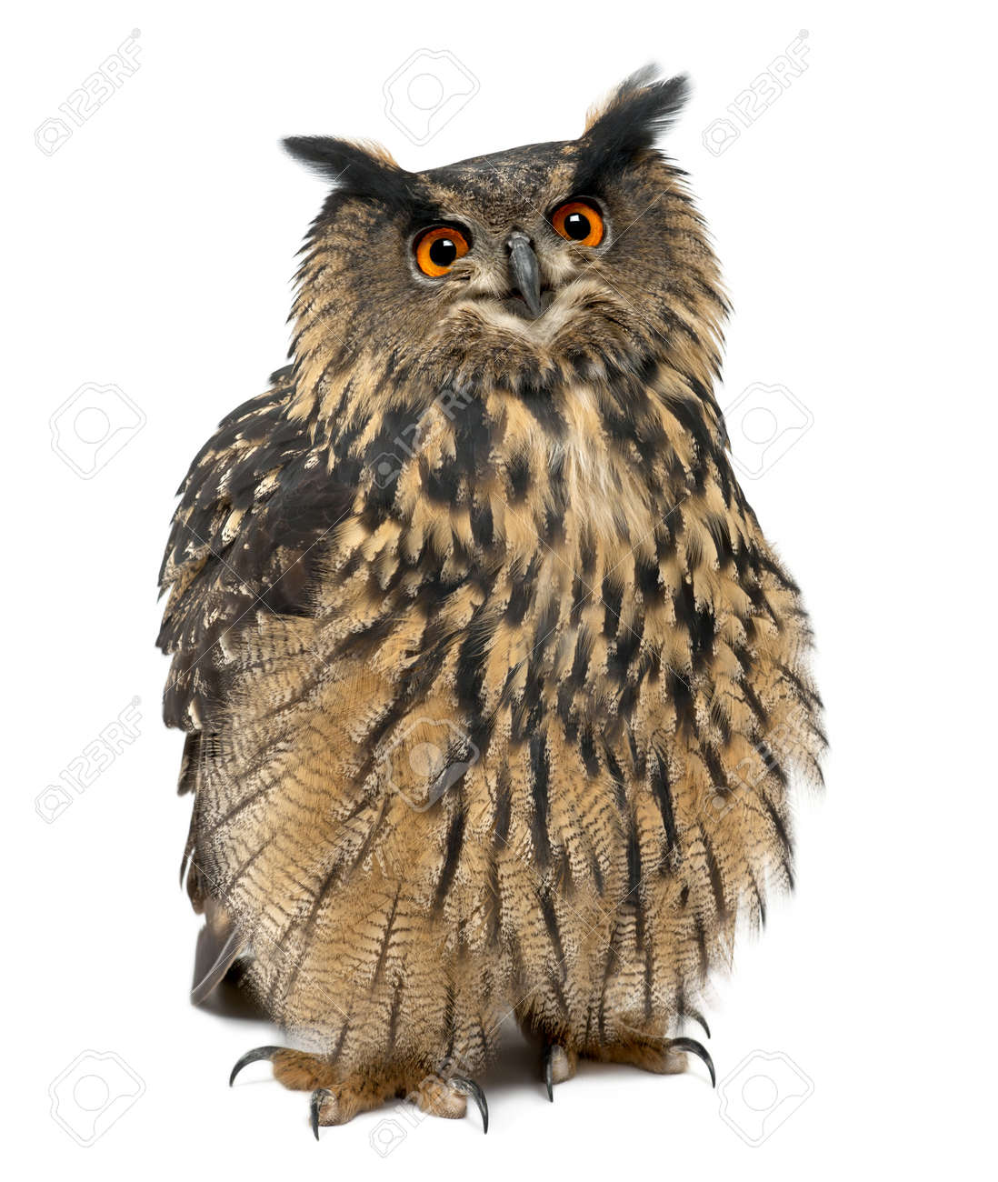 owl isolated stock photos royalty free owl isolated images and