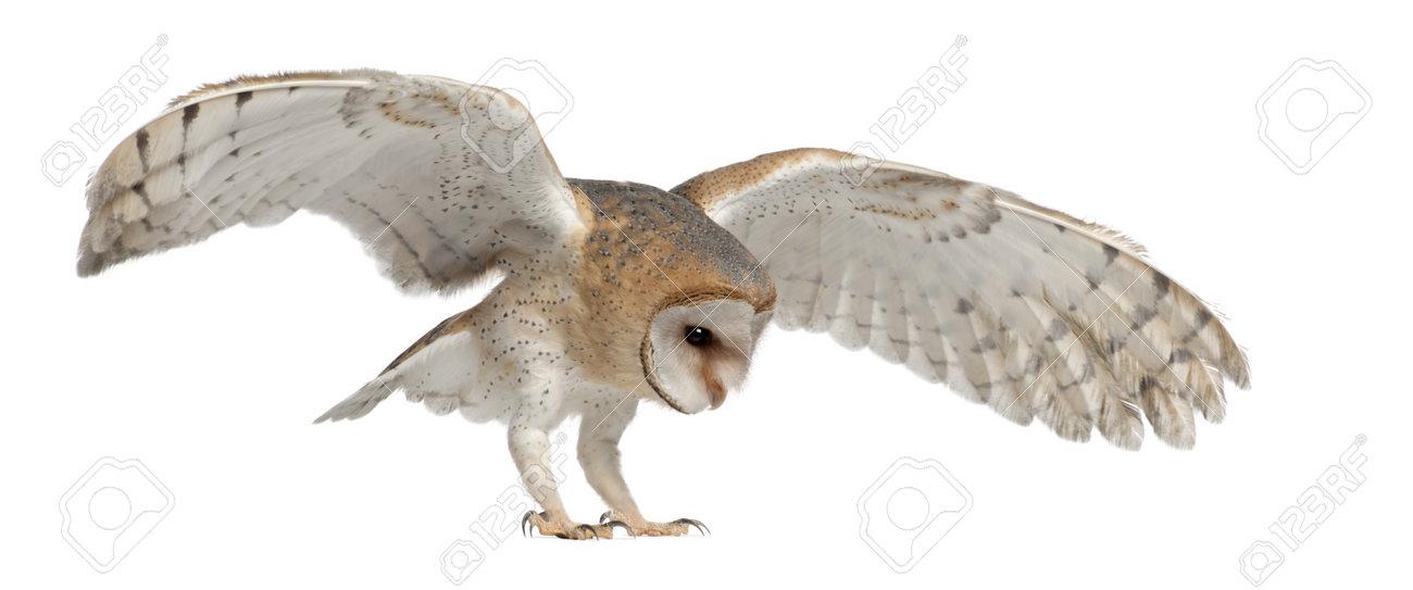 Barn Owls Landing