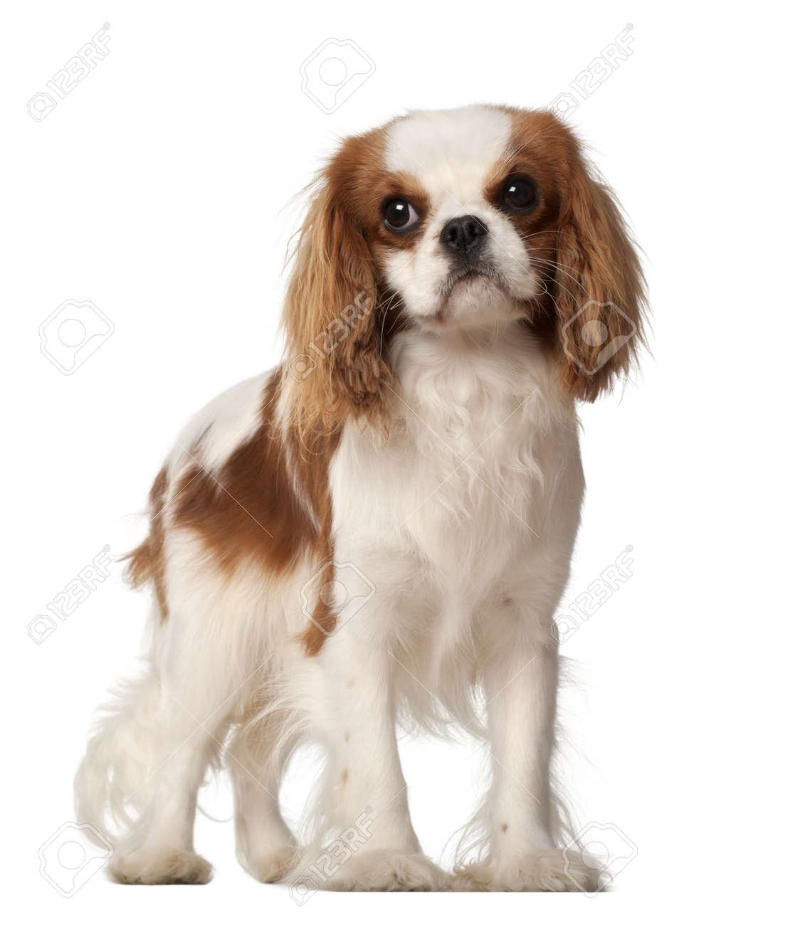 cavalier king charles spaniel 10 months old standing against