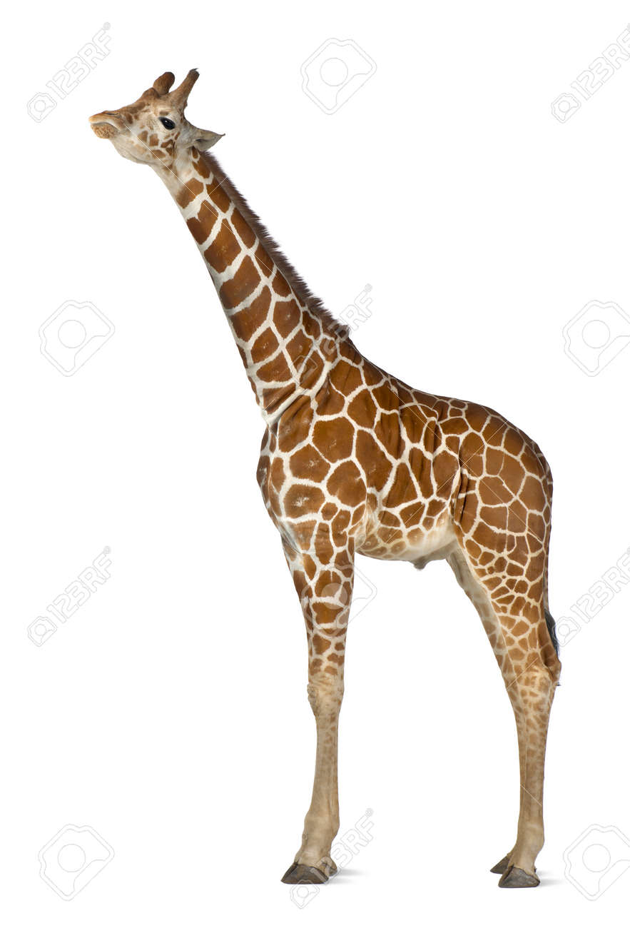 Somali Giraffe, commonly known as Reticulated Giraffe, Giraffa camelopardalis reticulata, 2 and a half years old standing against white background Stock Photo - 15251370