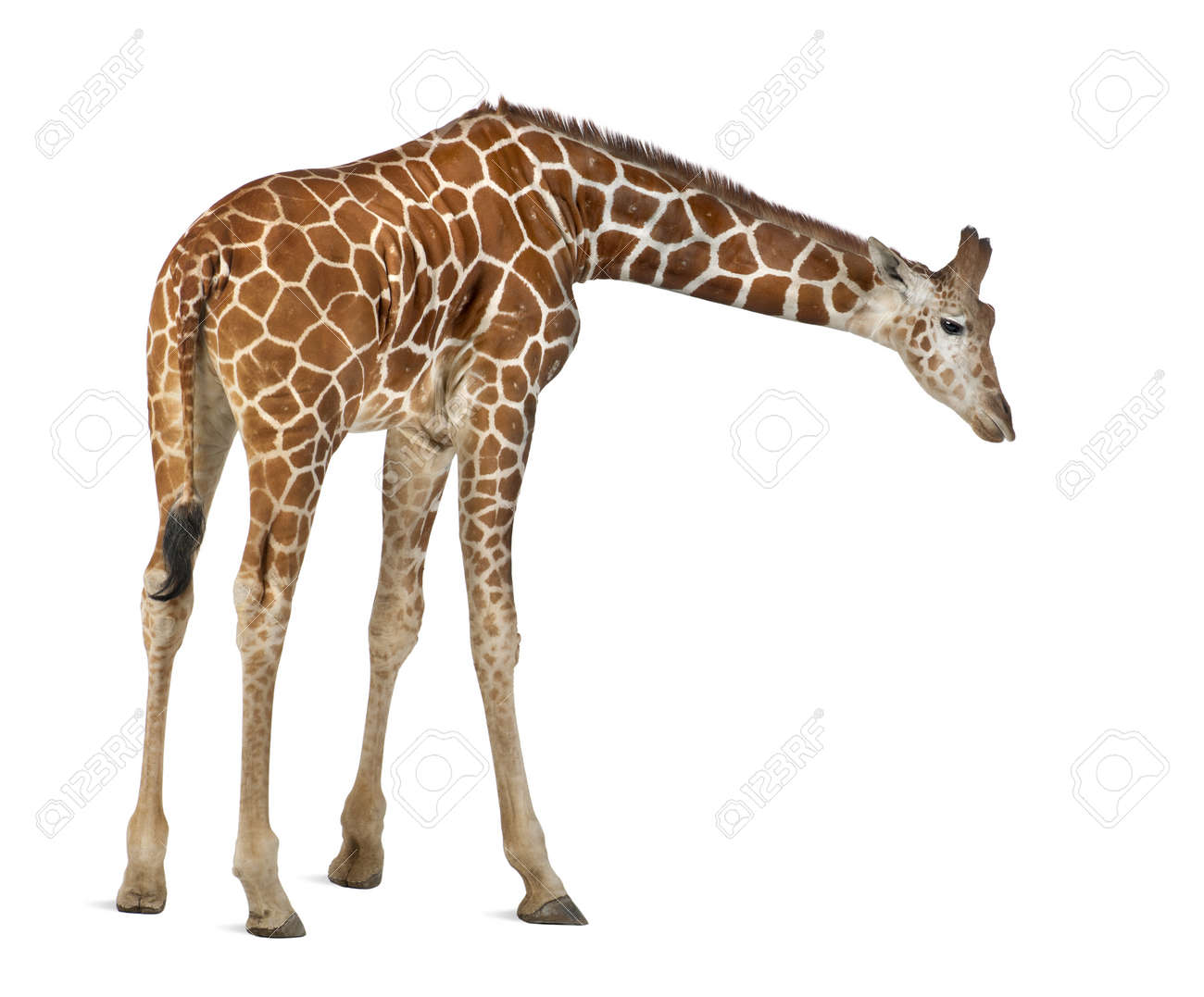 Somali Giraffe, commonly known as Reticulated Giraffe, Giraffa camelopardalis reticulata, 2 and a half years old standing against white background Stock Photo - 15251683