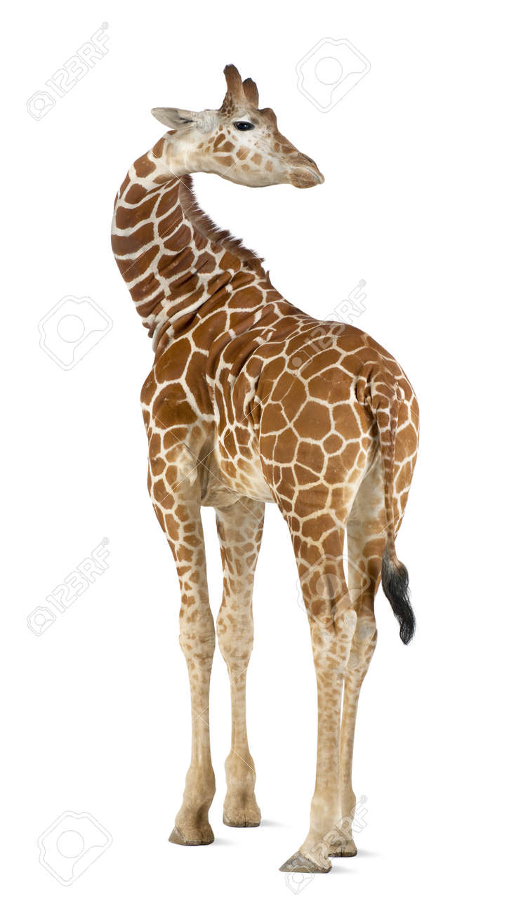 Somali Giraffe, commonly known as Reticulated Giraffe, Giraffa camelopardalis reticulata, 2 and a half years old standing against white background Stock Photo - 15251491