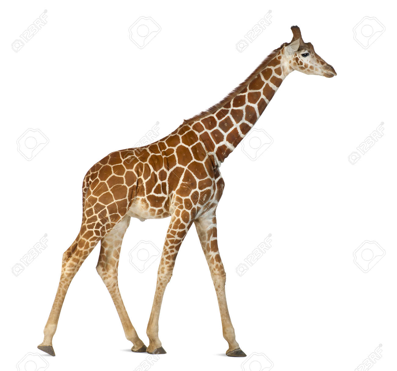Somali Giraffe, commonly known as Reticulated Giraffe, Giraffa camelopardalis reticulata, 2 and a half years old walking against white background Stock Photo - 15251513