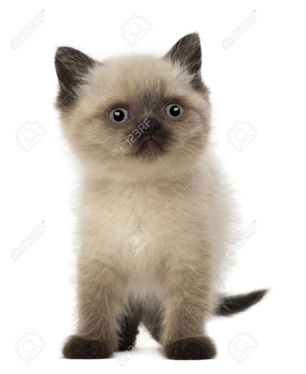 Portrait of British Shorthair Kitten, 5 weeks old, against white background Stock Photo - 15345670