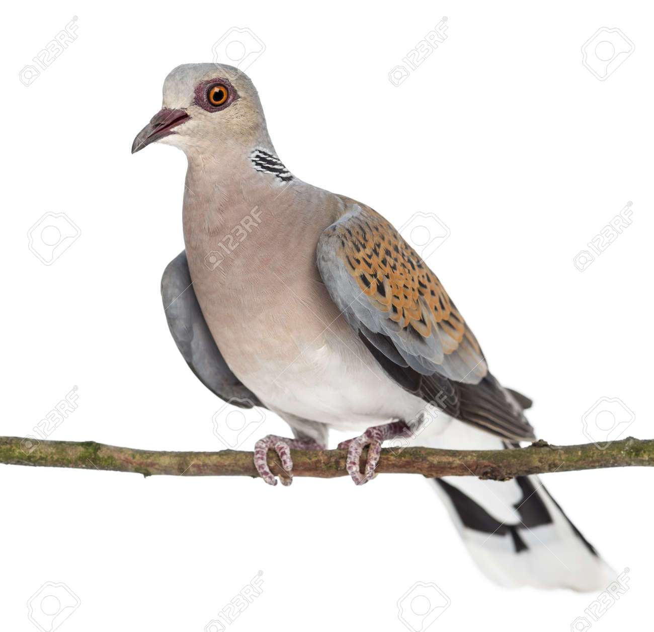 European Turtle Dove perched on branch, Streptopelia turtur, also known as the Turtle Dove against white background Stock Photo - 15344998