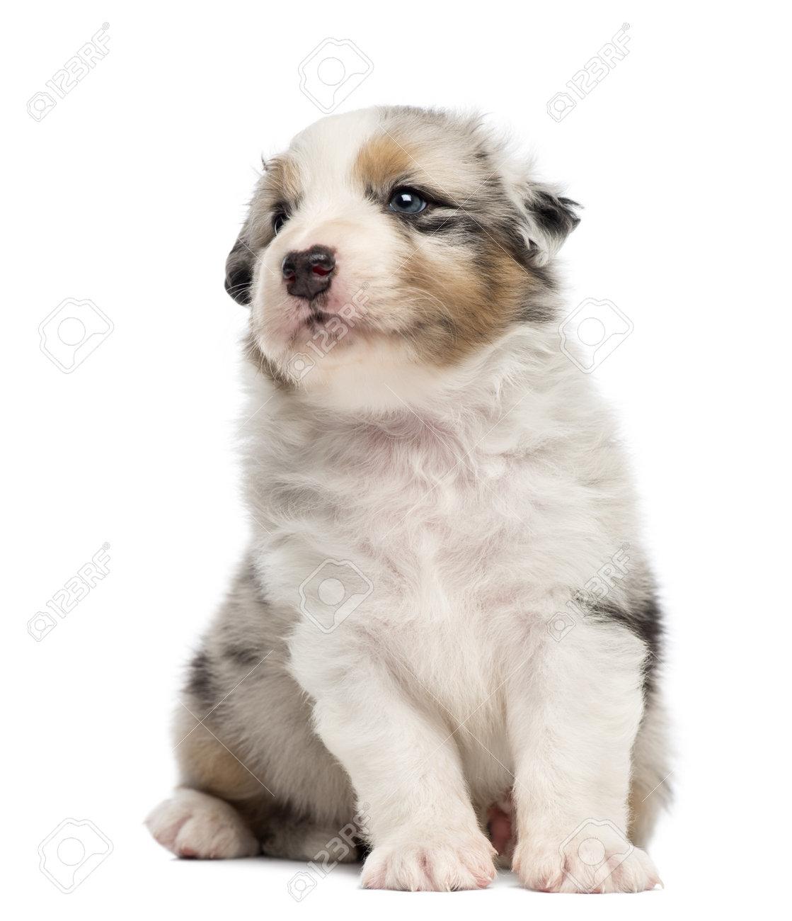 Australian Shepherd puppy, 30 days old, sitting against white background Stock Photo - 16485560
