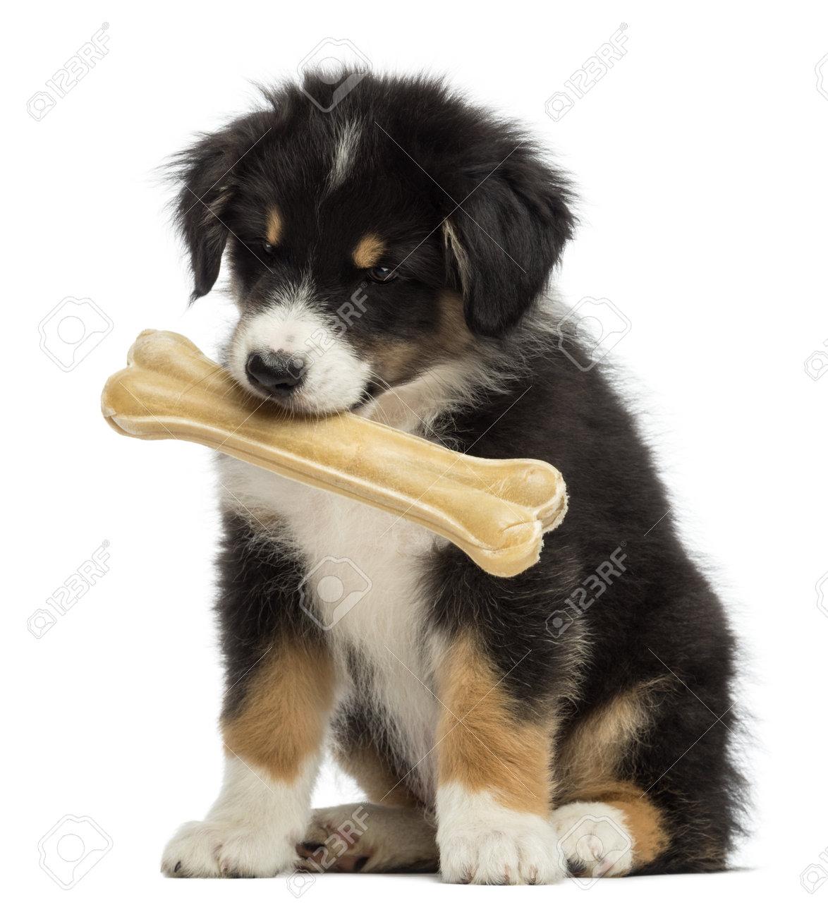 Australian Shepherd Welpe, 2 Monate Alt, Sitzt Und Hält Knöchel ...