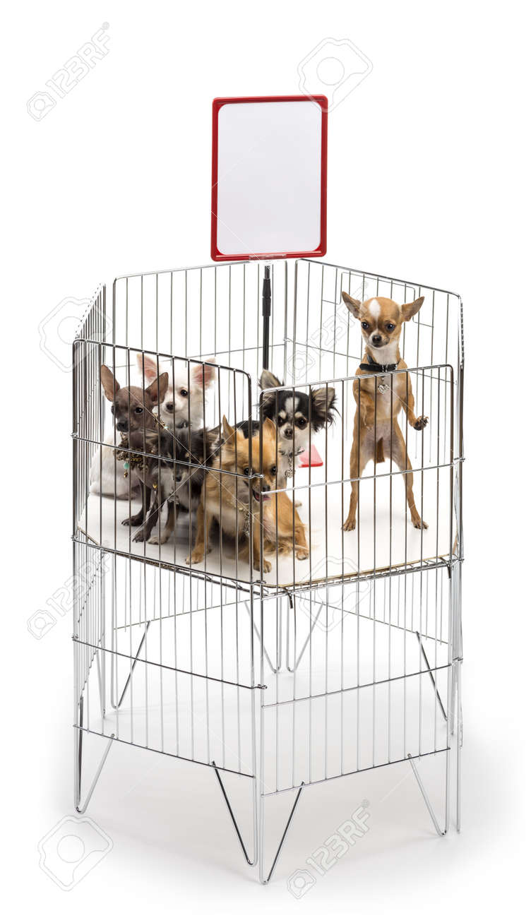 Chihuahuas in cage with white board against white background Stock Photo - 16486592