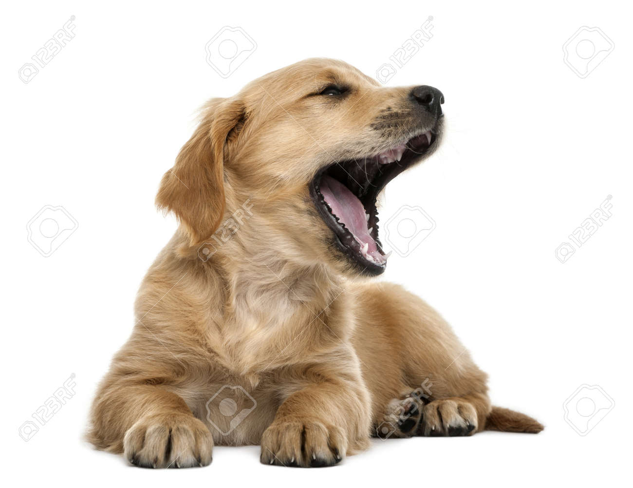 Golden retriever puppy, 7 weeks old, lying and yawning against white background Stock Photo - 16486596