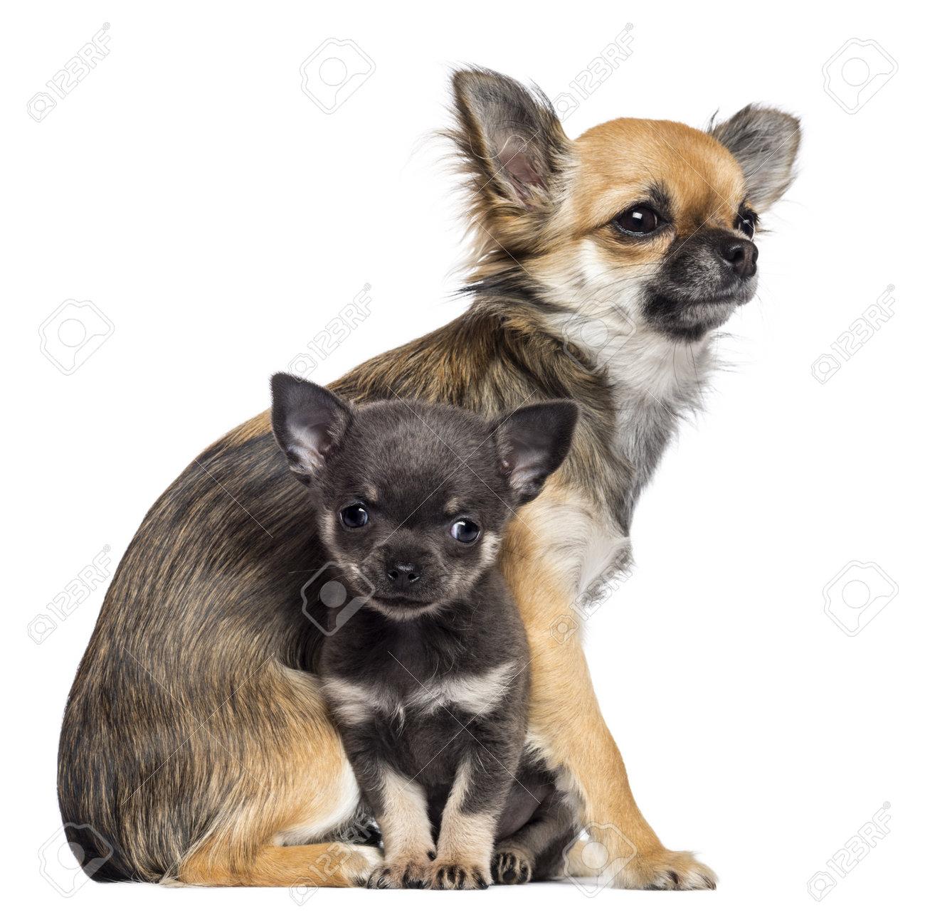 Chihuahua 9 Months Chihuahua puppies  9 months