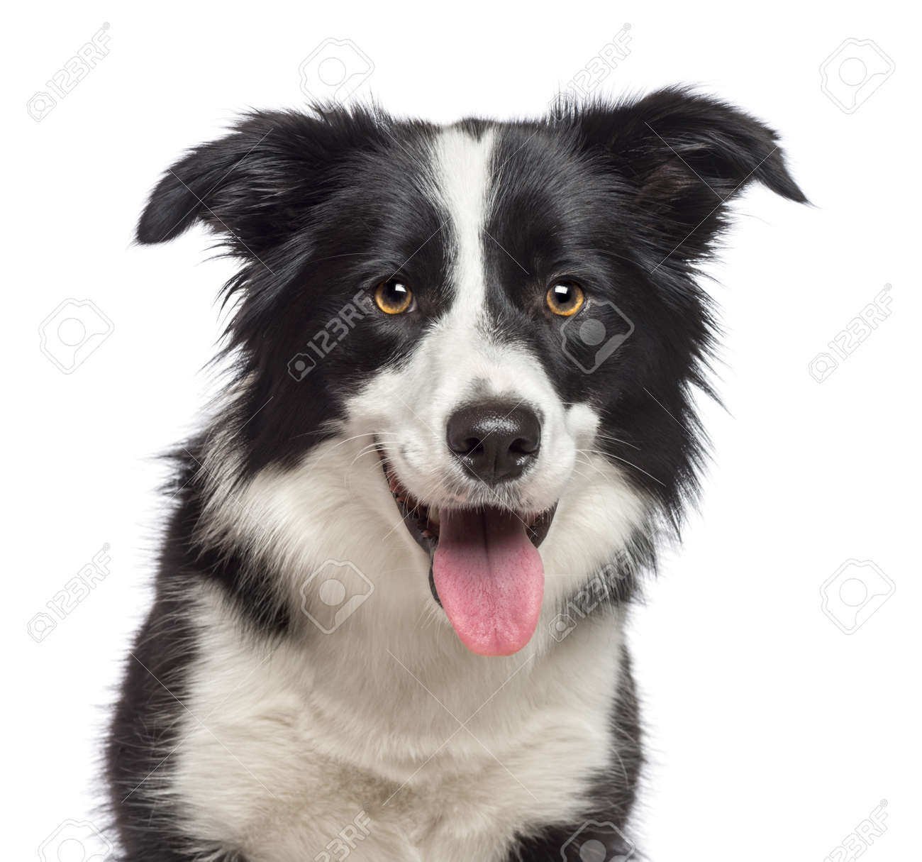 Close-up of Border Collie, 1.5 years old, looking at camera against white background Stock Photo - 16773982