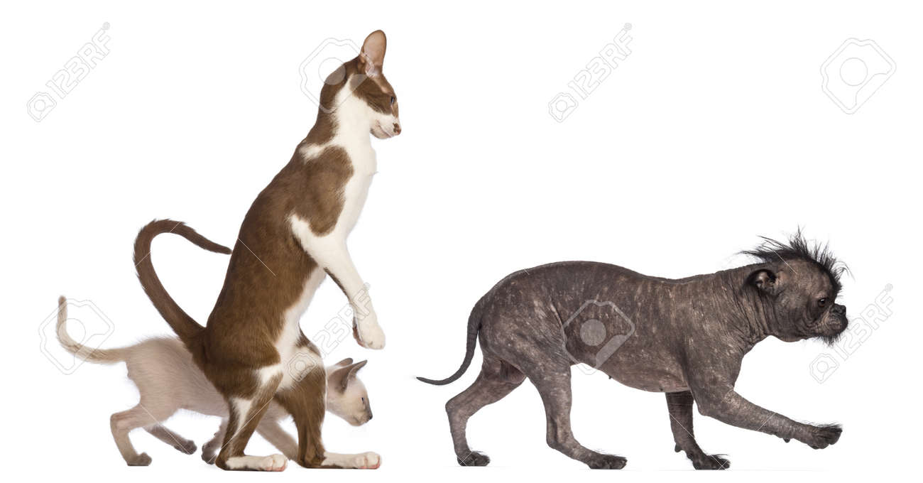 Adult Oriental Shorthair standing on hinds leg with kitten walking behind following crossbreed dog against white background Stock Photo - 16773745