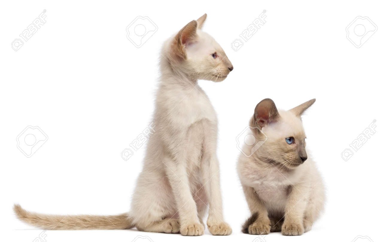 Two Oriental Shorthair Kittens 9 Weeks Old Sitting Lying And