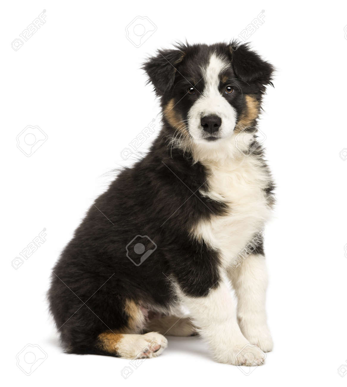 Australian Shepherd puppy, 3 months old, sitting and looking