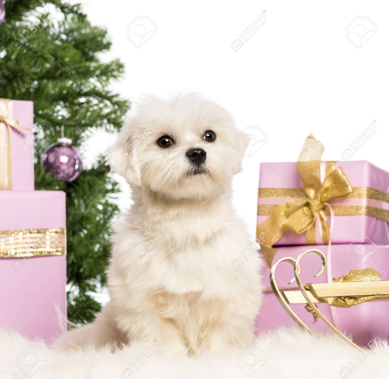 Maltese sitting in front of Christmas decorations against white background Stock Photo - 17291731