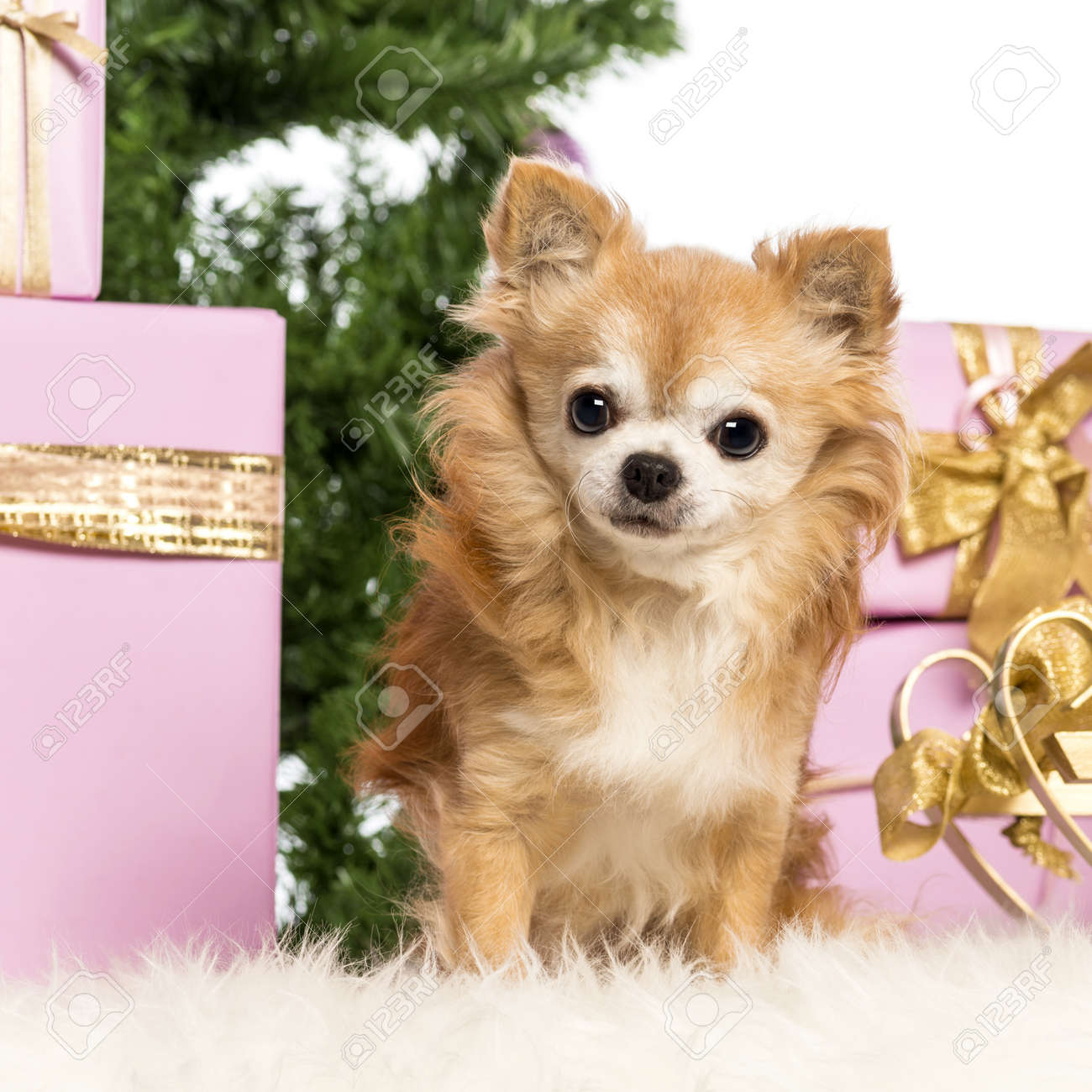 Chihuahua sitting in front of Christmas decorations against white background Stock Photo - 17291595