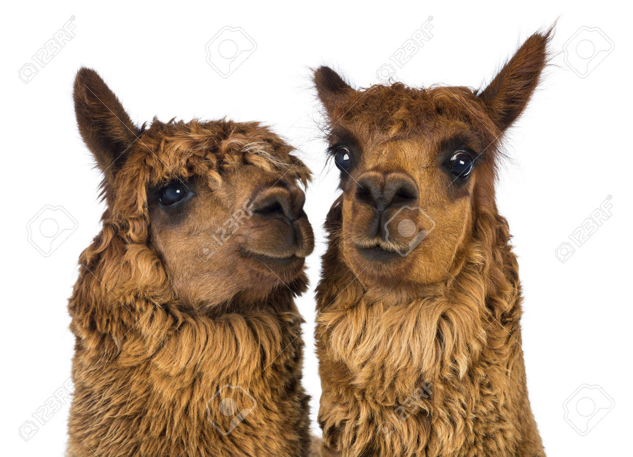 Close-up of two Alpacas, one is looking away and one is looking at camera against white background Stock Photo - 18179110