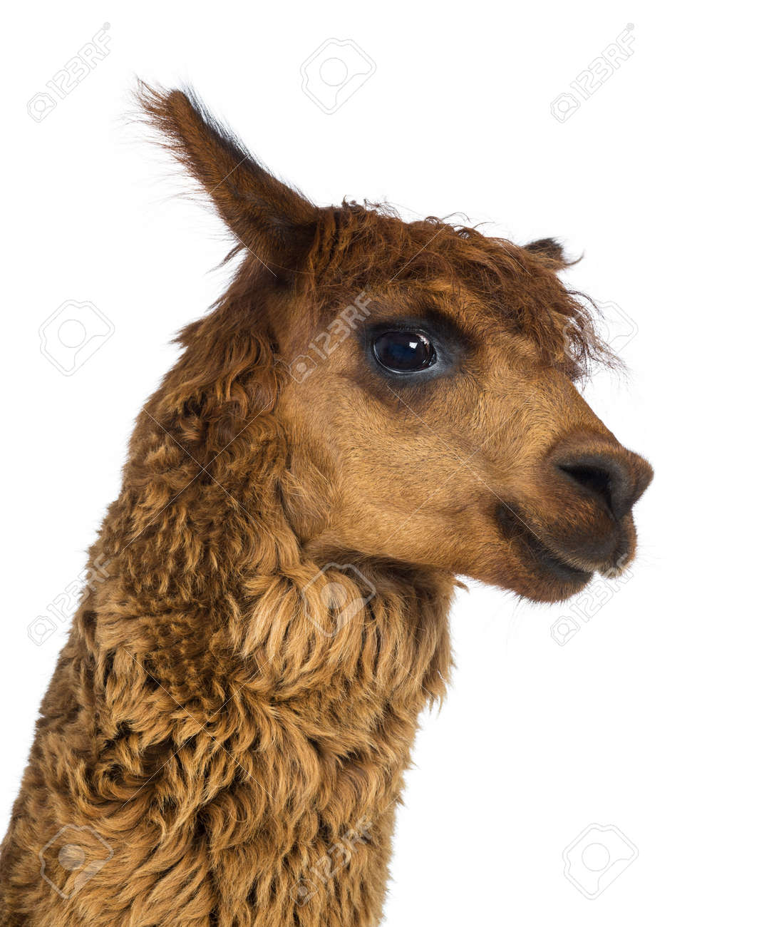 Close-up of Alpaca against white background Stock Photo - 18179162