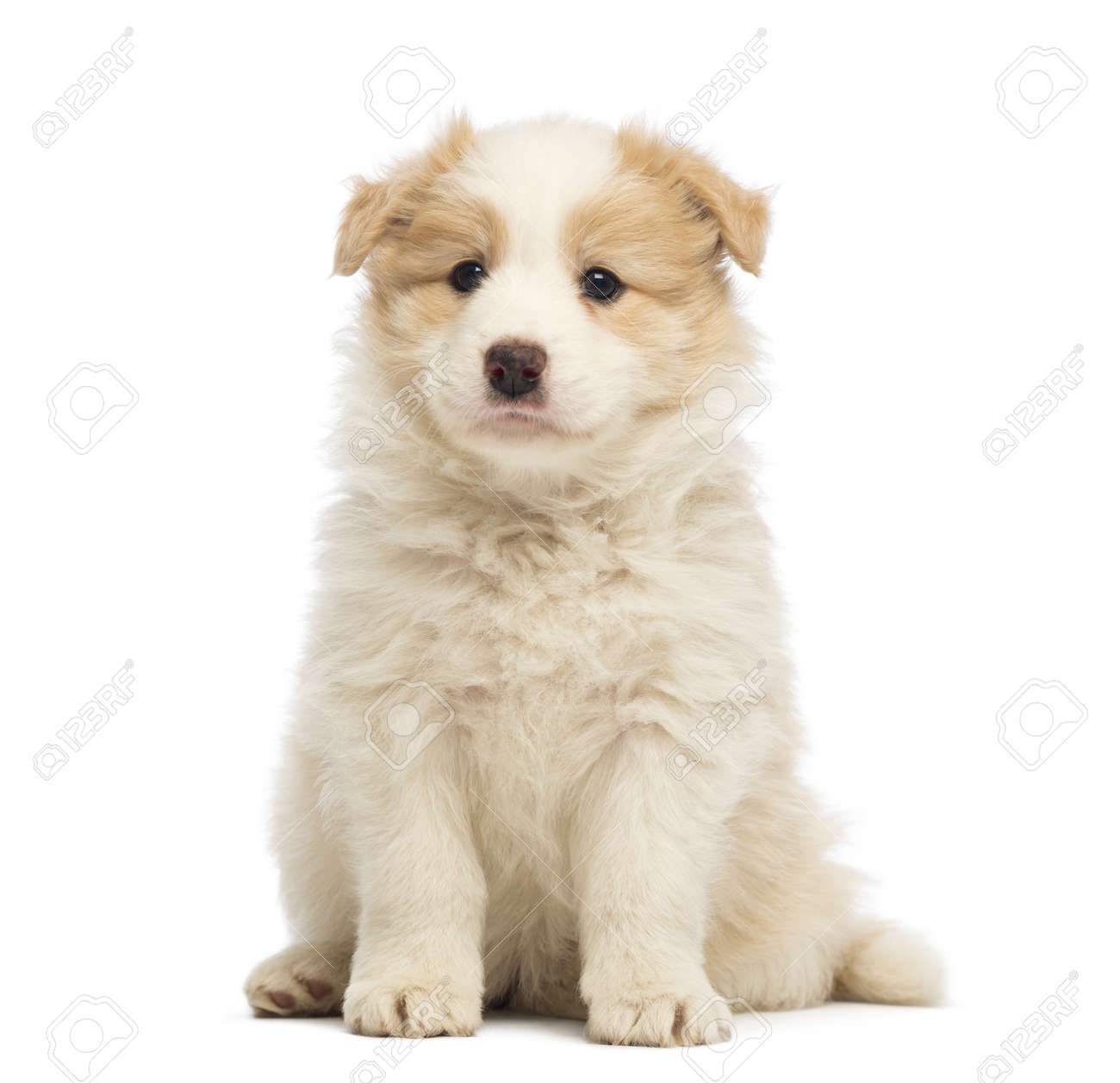 Border Collie Puppy 6 Weeks Old Sitting In Front Of White Background Stock Photo