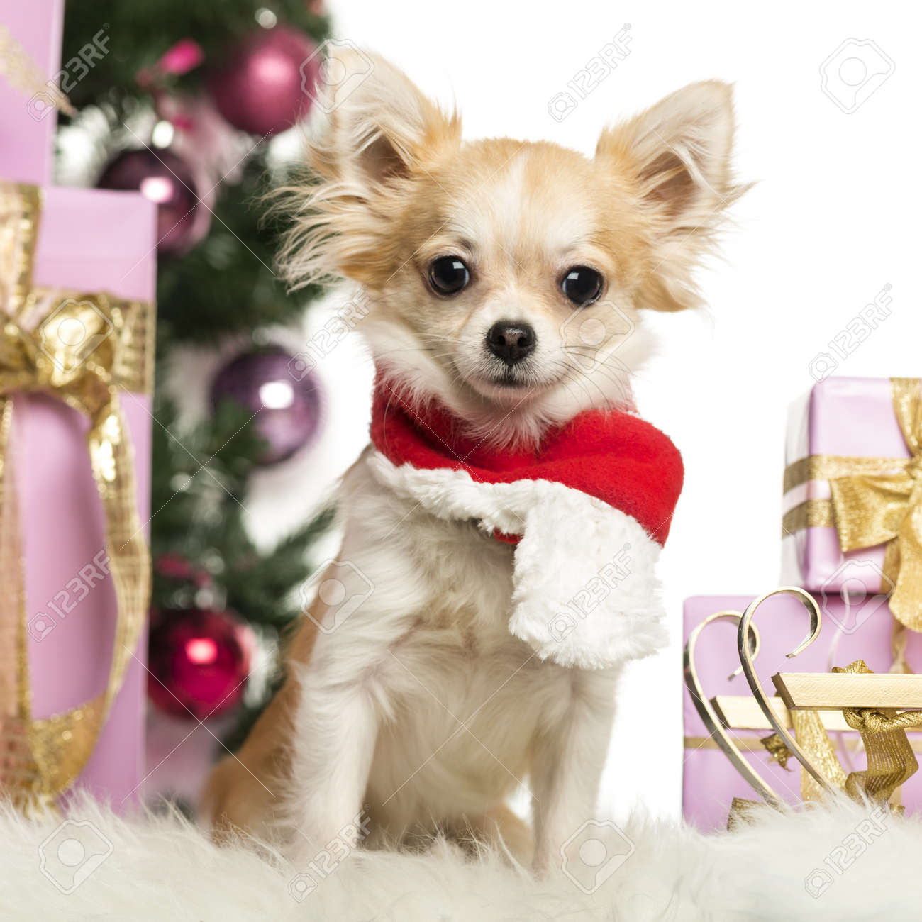 Chihuahua sitting wearing a Christmas scarf in front of Christmas decorations against white background Stock Photo - 19008964