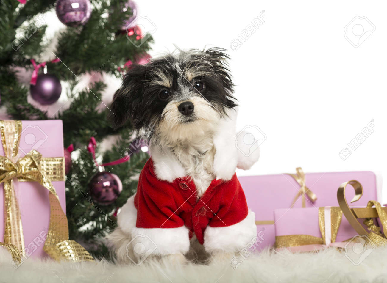 Maltese sitting and wearing a Christmas suit in front of Christmas decorations against white background Stock Photo - 19013060