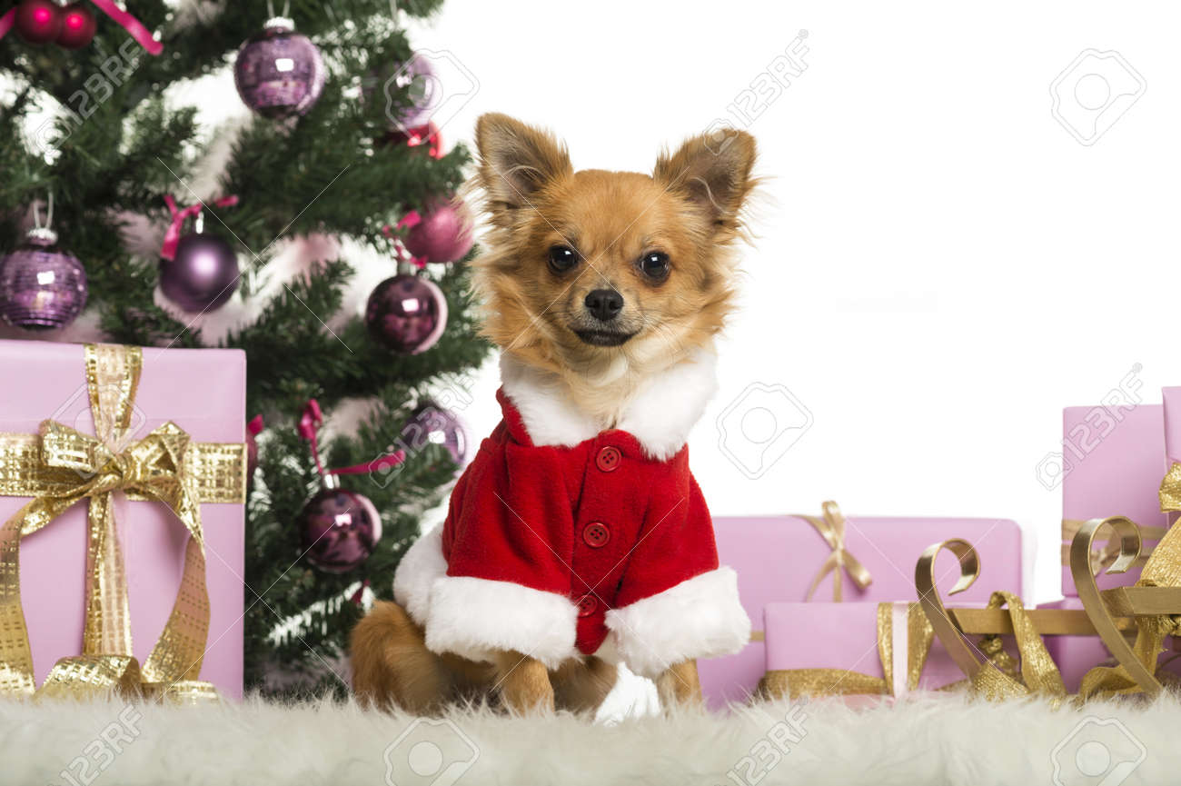 Chihuahua sitting and wearing a Christmas suit in front of Christmas decorations against white background Stock Photo - 19013162