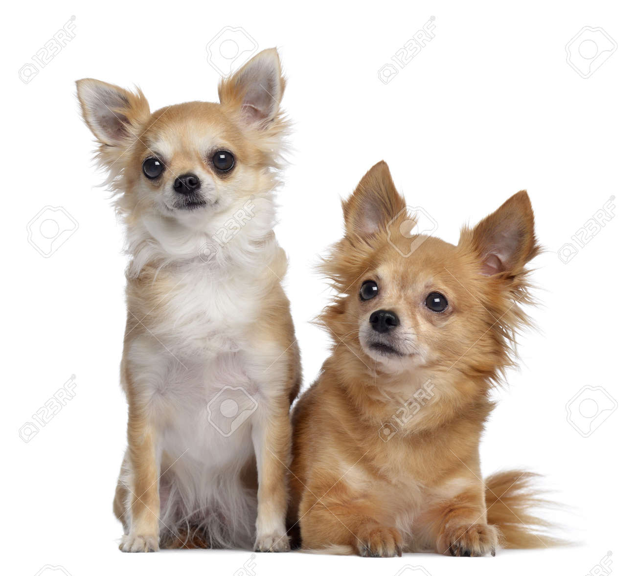 two chihuahuas 5 and 4 years old sitting and lying next to stock