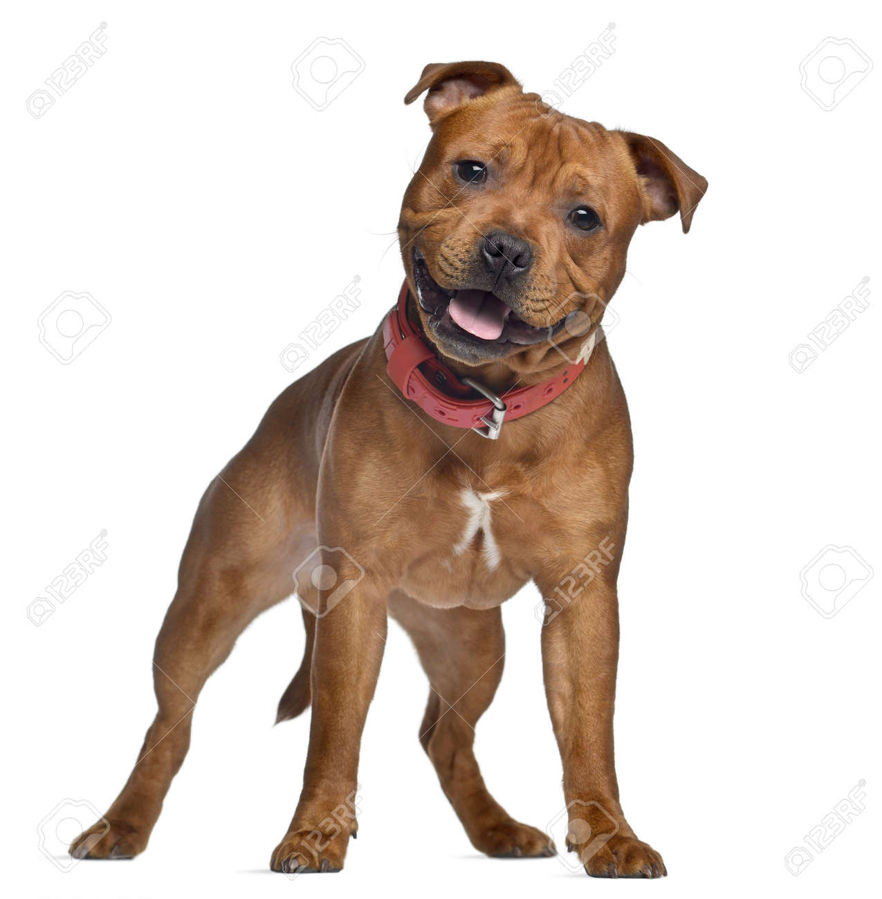 Staffordshire Bull Terrier, 9 months old with red collar, standing,  isolated on white