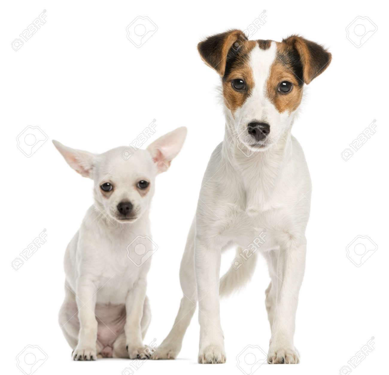 chihuahua puppy and jack russell terrier next to each other