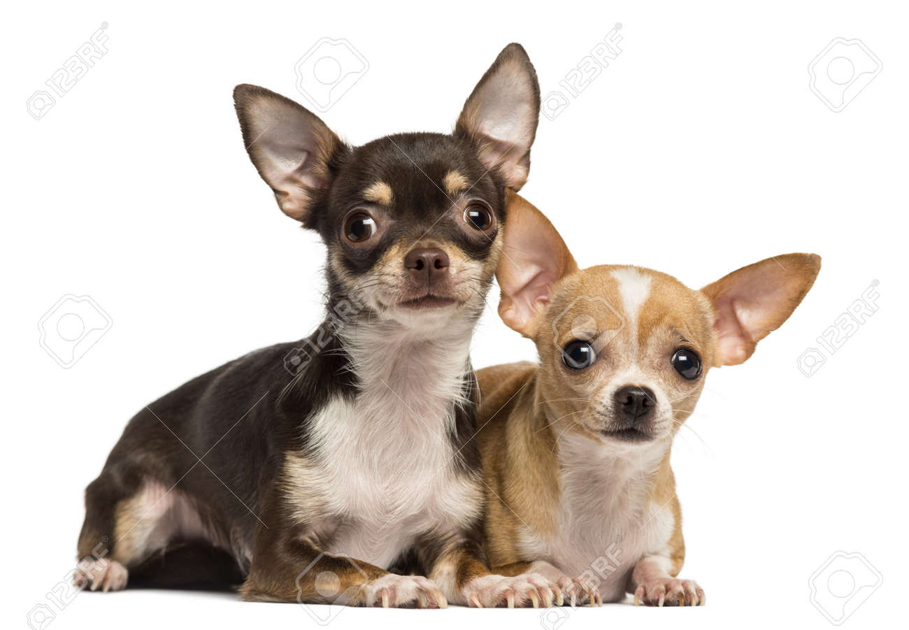 Two Chihuahuas lying next to ecah other, isolated on white Stock Photo - 20146514