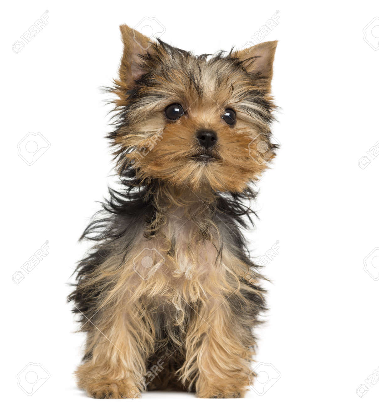 Yorkshire Terrier Puppy Sitting 3 Months Old Isolated On White