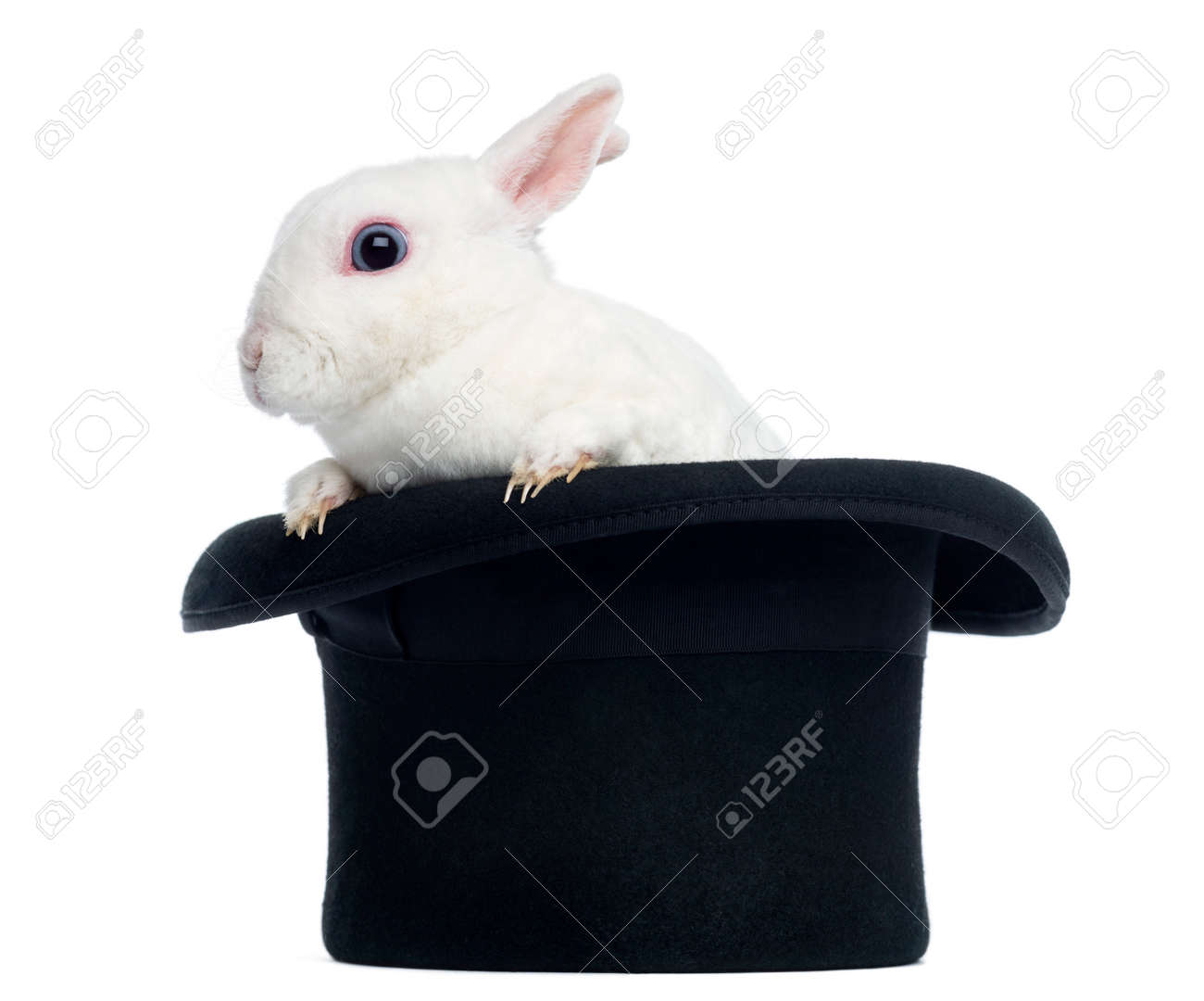 Mini rex rabbit goint out of a top hat, isolated on white Stock Photo - 22728214