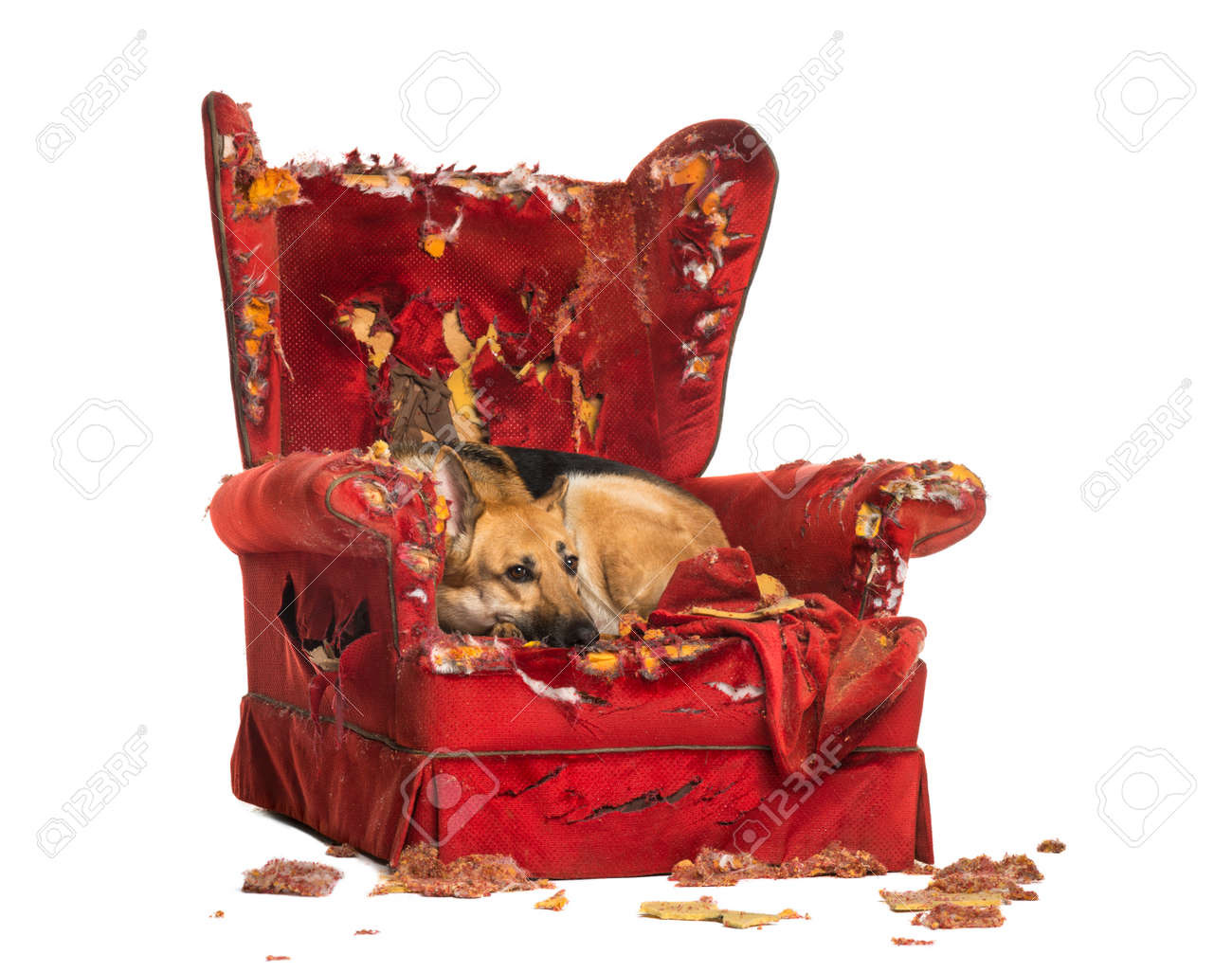 German Sheperd looking dipressed on a destroyed armchair, isolated on white - 22728303
