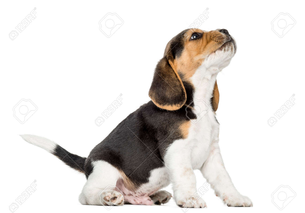 Beagle Puppy Howling Looking Up Isolated On White Stock Photo Picture And Royalty Free Image Image 23286072