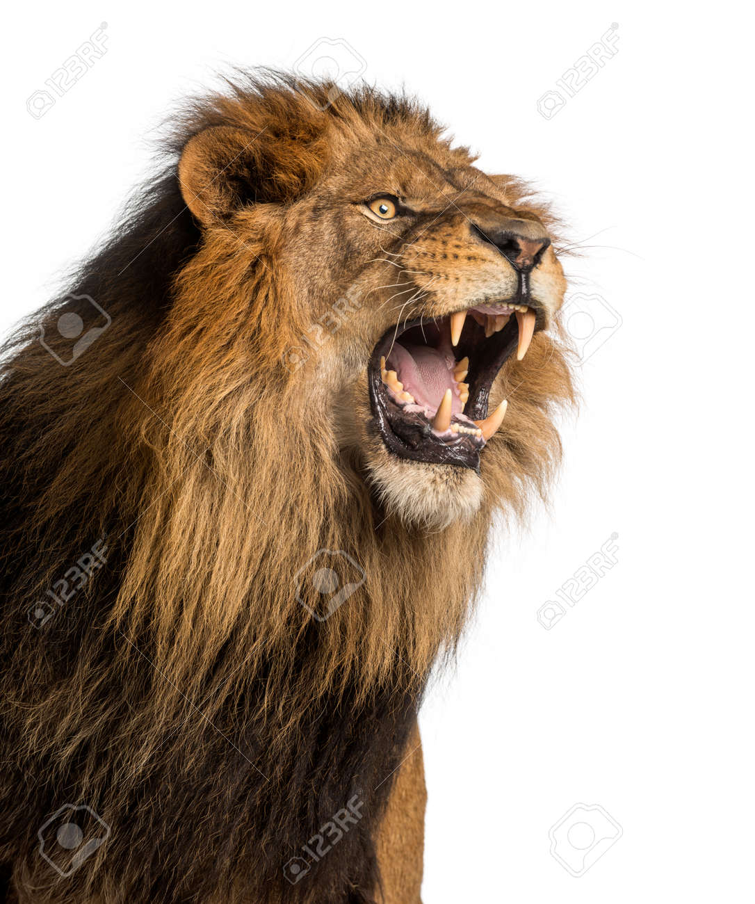 Close Up Of A Lion Roaring Panthera Leo 10 Years Old Isolated