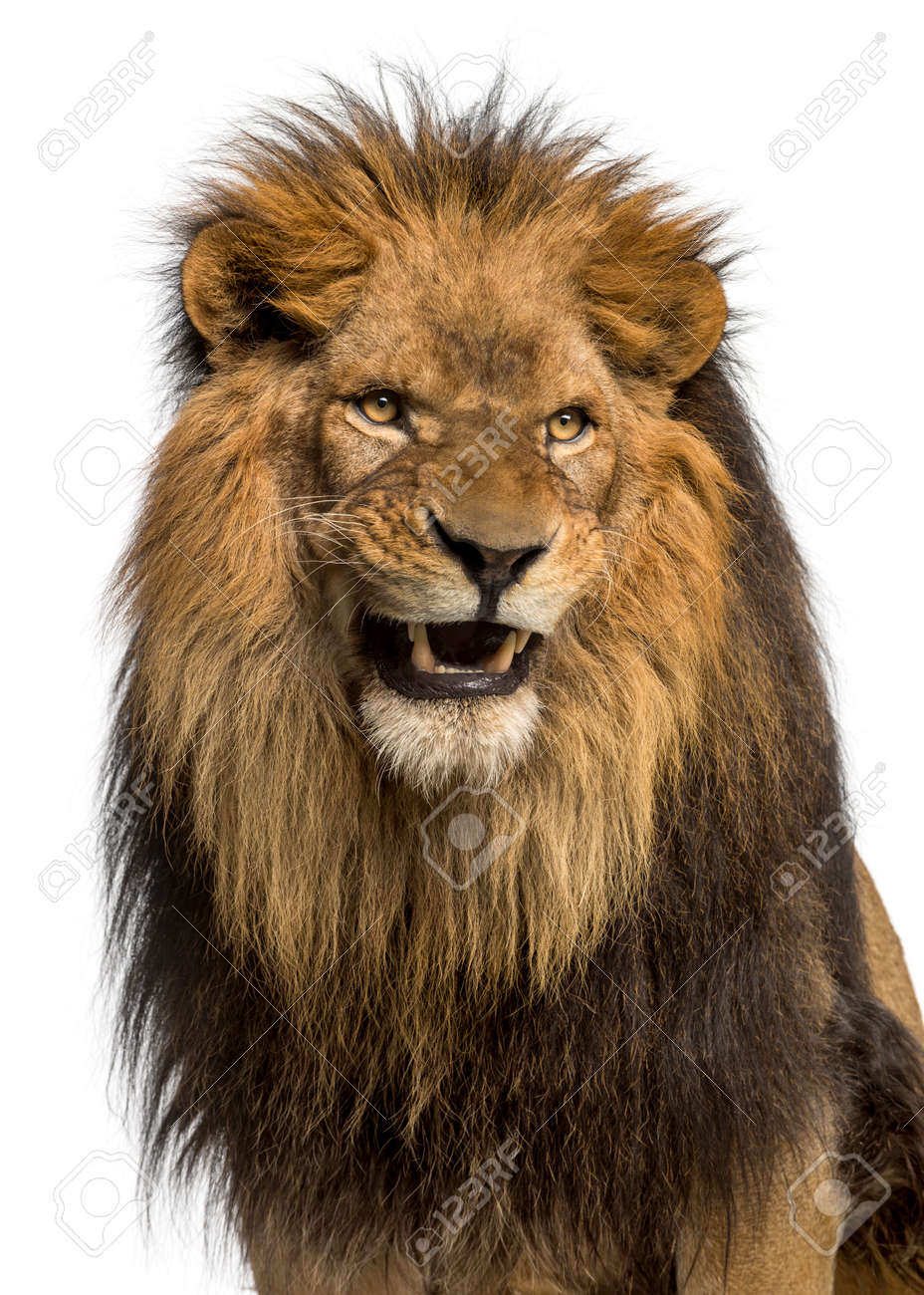 angry lion stock photos royalty free angry lion images
