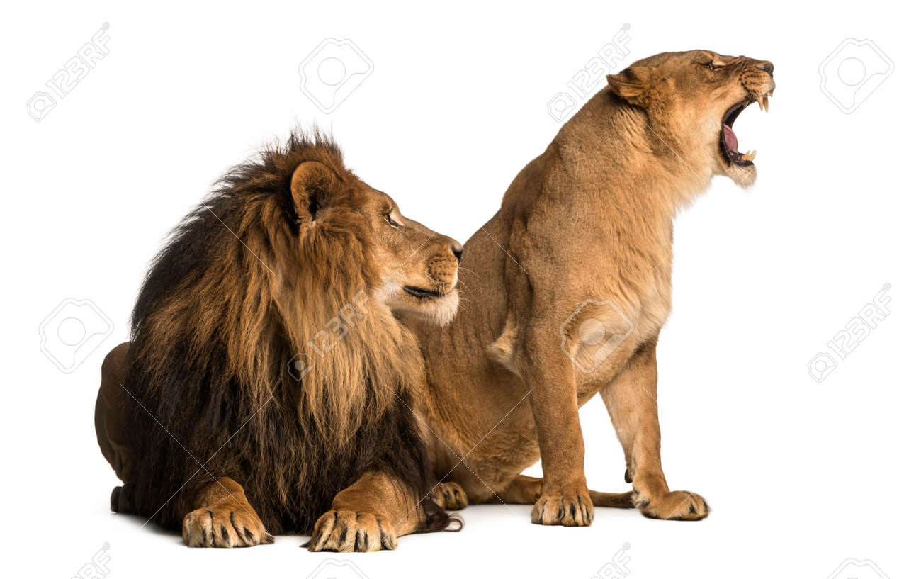 lion with lioness roaring next to each other panthera leo stock